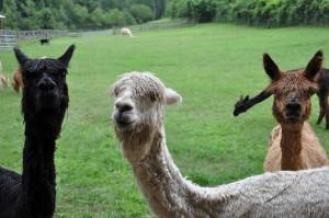 Alpaca first day 2 81713