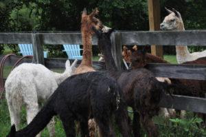 Alpacas meeting 81713