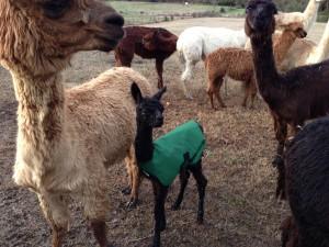 Black Friday in her coat with herd